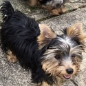 Lily - a Yorkshire Terrier puppy