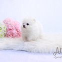 TEACUP TOY POMERANIAN