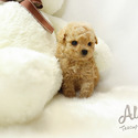 TEACUP TOY POODLE