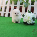 [Cindy]Teacup Toy Pomeranian for sale - a Pomeranian puppy