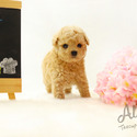 [Muffin]Teacup Toy Poodle for sale - a Poodle puppy