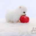 Cutie Teacup Pomeranian for sale, Cindy - a Pomeranian puppy