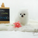 Cutie Teacup Pomeranian for sale, Cloud - a Pomeranian puppy
