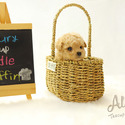 Teacup Micro Poodle for Sale [Muffin] BFCM 20%%OFF - a Poodle puppy