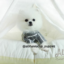 Teacup Micro Pomeranian for Sale [Cloud] BFCM 20%%OFF - a Pomeranian puppy