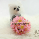 Teacup Micro Pomeranian for Sale [Cindy] BFCM 20%%OFF - a Pomeranian puppy