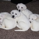 letts labradors owned by letts labradors