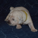 Smokey Mountain English Goldens - a English Golden Retriever puppy