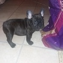 Cobalt - a French Bulldog puppy
