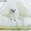Teacup Mini Pomeranian for Sale [CINDY] BFCM 20%%OFF - a Pomeranian puppy