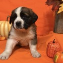 Strawberry - a Saint Bernard puppy
