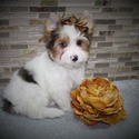 Milano blueberry merle yorkie - a Yorkshire Terrier puppy