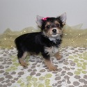 MONA TINY YORKIE FEMALE - a Yorkshire Terrier puppy