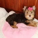 SABRINA AKC CHOCOLATE YORKIE - a Yorkshire Terrier puppy