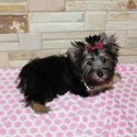 KENDRA TRADITIONAL YORKIE - a Yorkshire Terrier puppy