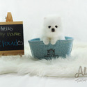 Teacup Toy Pomeranian for sale, Cloud - a Pomeranian puppy