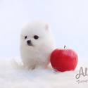 Teacup Toy Pomeranian for sale, Cindy - a Pomeranian puppy