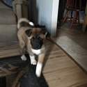 Red - a Akita puppy