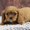 World Class Cavalier King Charles owned by World Class Cavalier King Charles