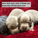 AKC Charcoal And Silver Lab Puppies - a Labrador Retriever puppy