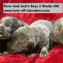 AKC Silver And Charcoal Lab Puppies - a Labrador Retriever puppy