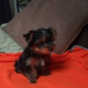 Female Yorkie - a Yorkshire Terrier puppy