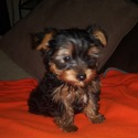 Male Yorkie - a Yorkshire Terrier puppy