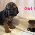 Girl 1 - a Bloodhound puppy
