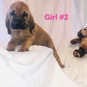 Girl 2 - a Bloodhound puppy