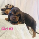 GIRL 3 - a Bloodhound puppy