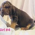 GIRL 4 - a Bloodhound puppy