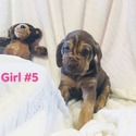 GIRL 5 - a Bloodhound puppy