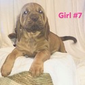 GIRL 7 - a Bloodhound puppy