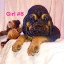 GIRL 8 - a Bloodhound puppy