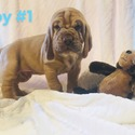 BOY 1 - a Bloodhound puppy