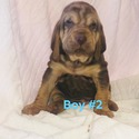 BOY 2 - a Bloodhound puppy