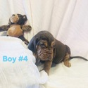 BOY 4 - a Bloodhound puppy