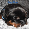 Boy Blue - a Rottweiler puppy