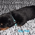 Boy Teal - a Rottweiler puppy