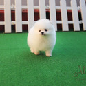 Teacup Toy Pomeranian Puppies For Sale [Macchiato] - a Pomeranian puppy