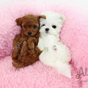 Teacup Toy Poodle Puppies For Sale [Cappuccino] - a Poodle puppy