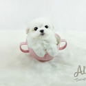 Teacup Toy Maltese Puppies For Sale [Latte] - a Maltese puppy