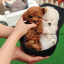 Mini Teacup Poodle Puppies For Sale, Cappuccino - a Poodle puppy