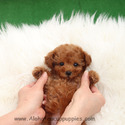 Micro Teacup Poodle Puppies For Sale - Cappuccino - a Poodle puppy