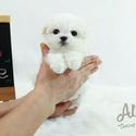 Micro Teacup Maltese Puppies For Sale - Latte - a Maltese puppy