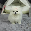 Micro Teacup Pomeranian Puppies For Sale - Cartier - a Pomeranian puppy