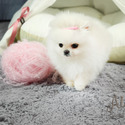 Micro Teacup Pomeranian Puppies For Sale - Gucci - a Pomeranian puppy