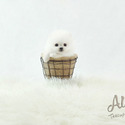 Toy Teacup Pomeranian Puppies For Sale [Macchiato] - a Pomeranian puppy
