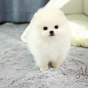 Mini Teacup Pomeranian Puppies For Sale [Gucci] - a Pomeranian puppy