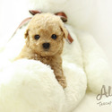 Micro Teacup Poodle Puppies For Sale [Vanilla] - a Poodle puppy